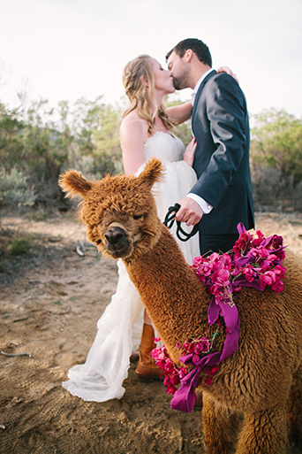 Anza valley rustic outdoor wedding at the alpaca farm bride strapless chiffon gown with a sweetheart neckline and groom navy blue suit with white dress shirt and no tie standing next to alpaca with pink flowers decor